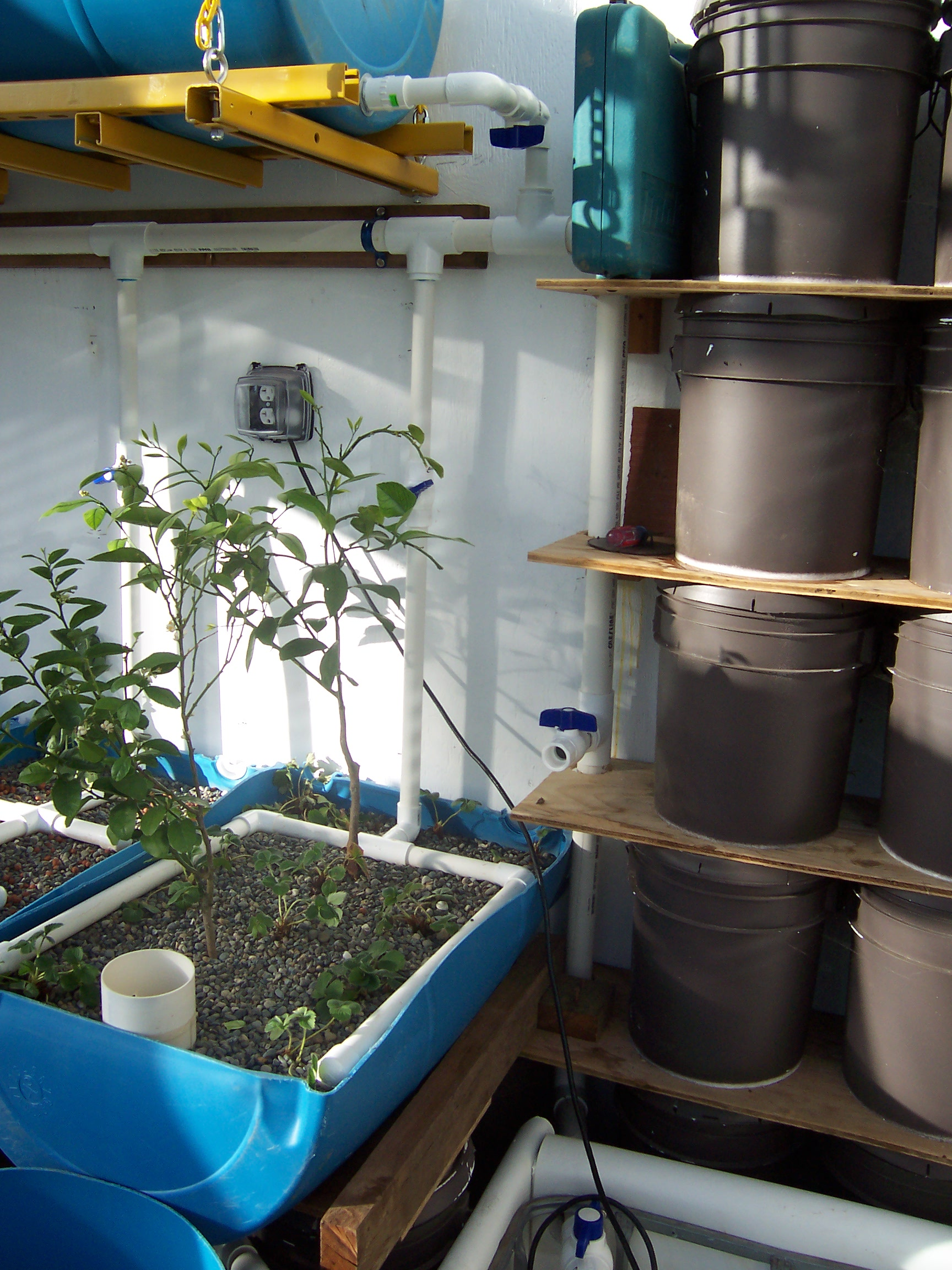 Citrus and Strawberries in Aquaponics Bed