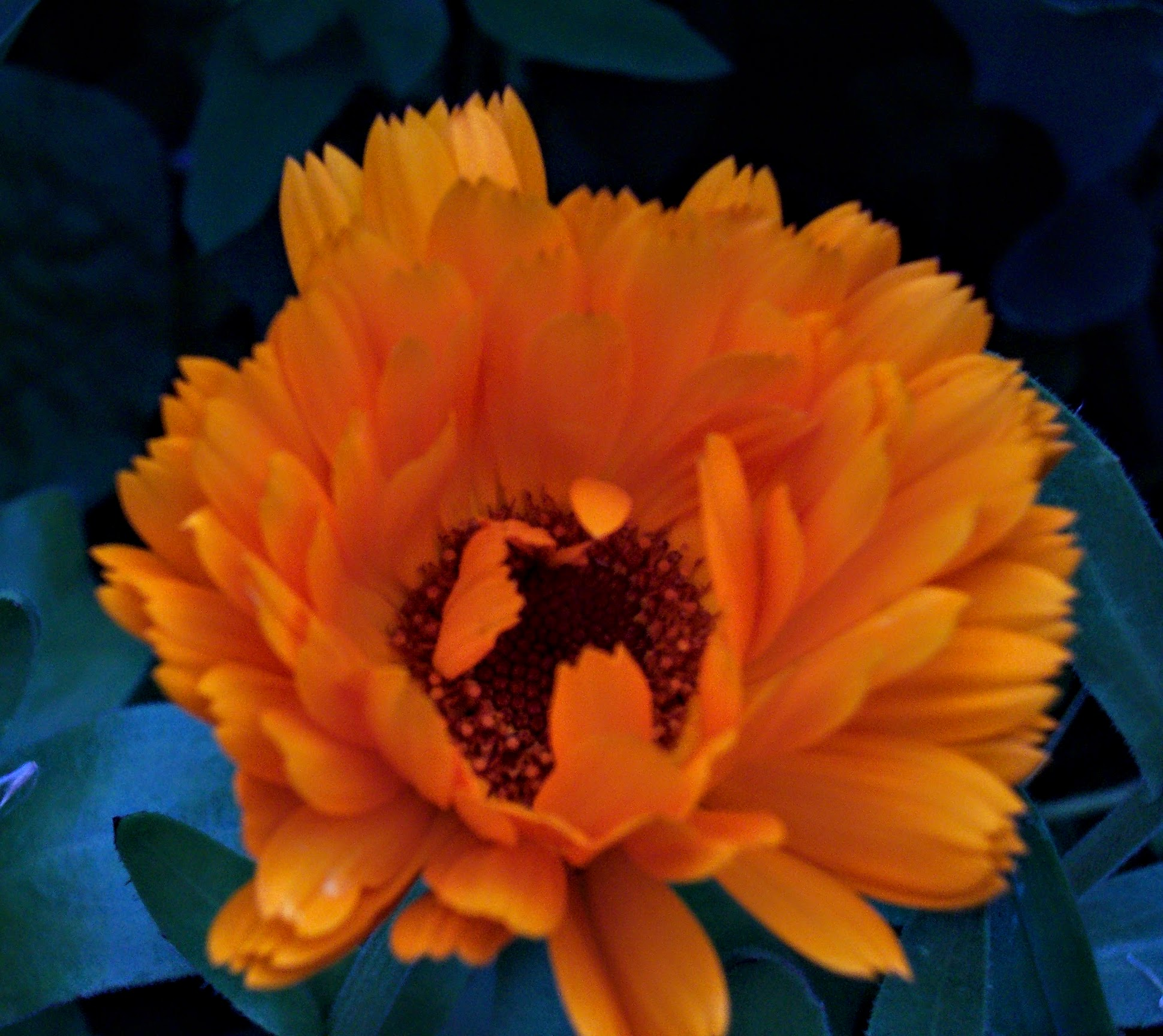 Image of a calendula flower