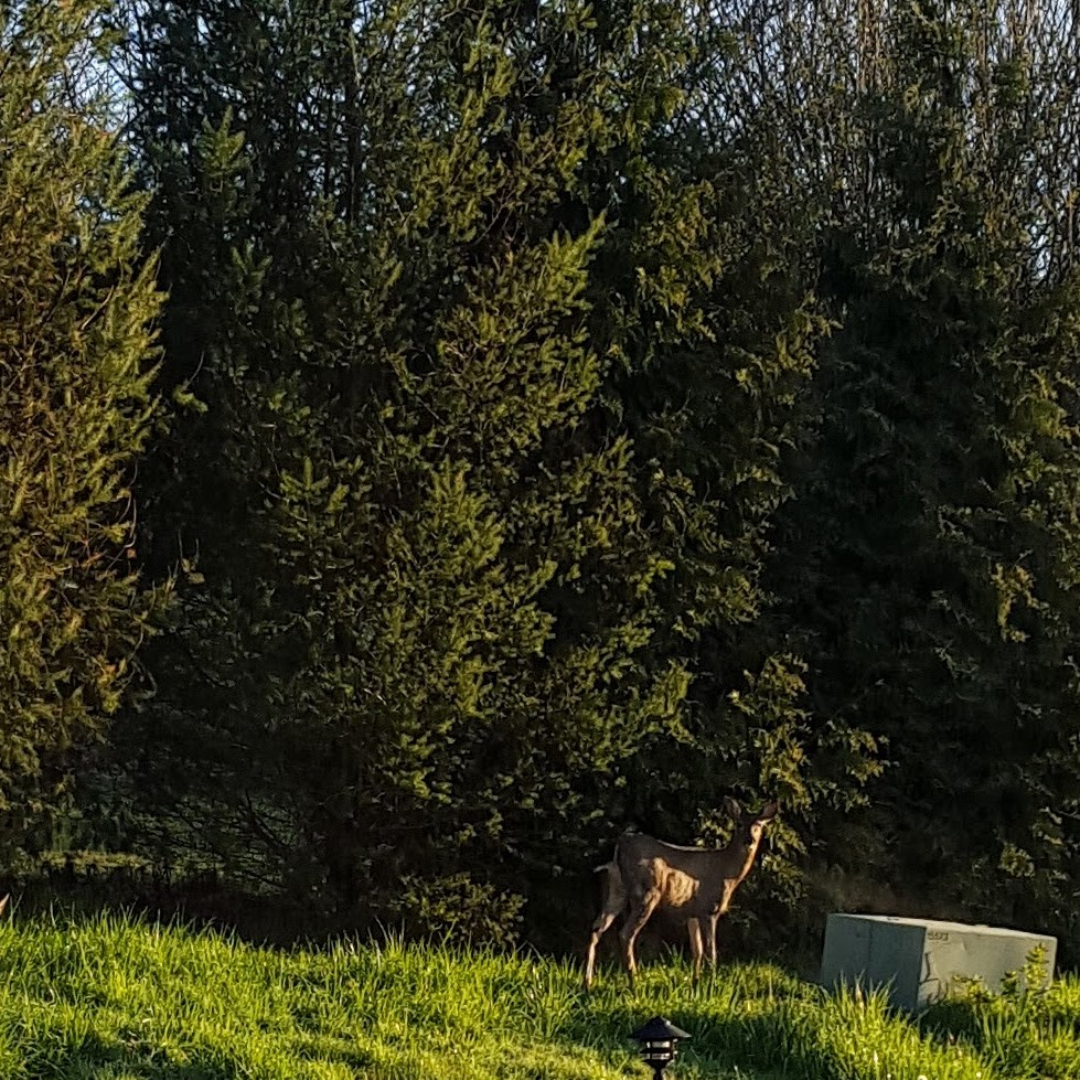 Deer in front of trees