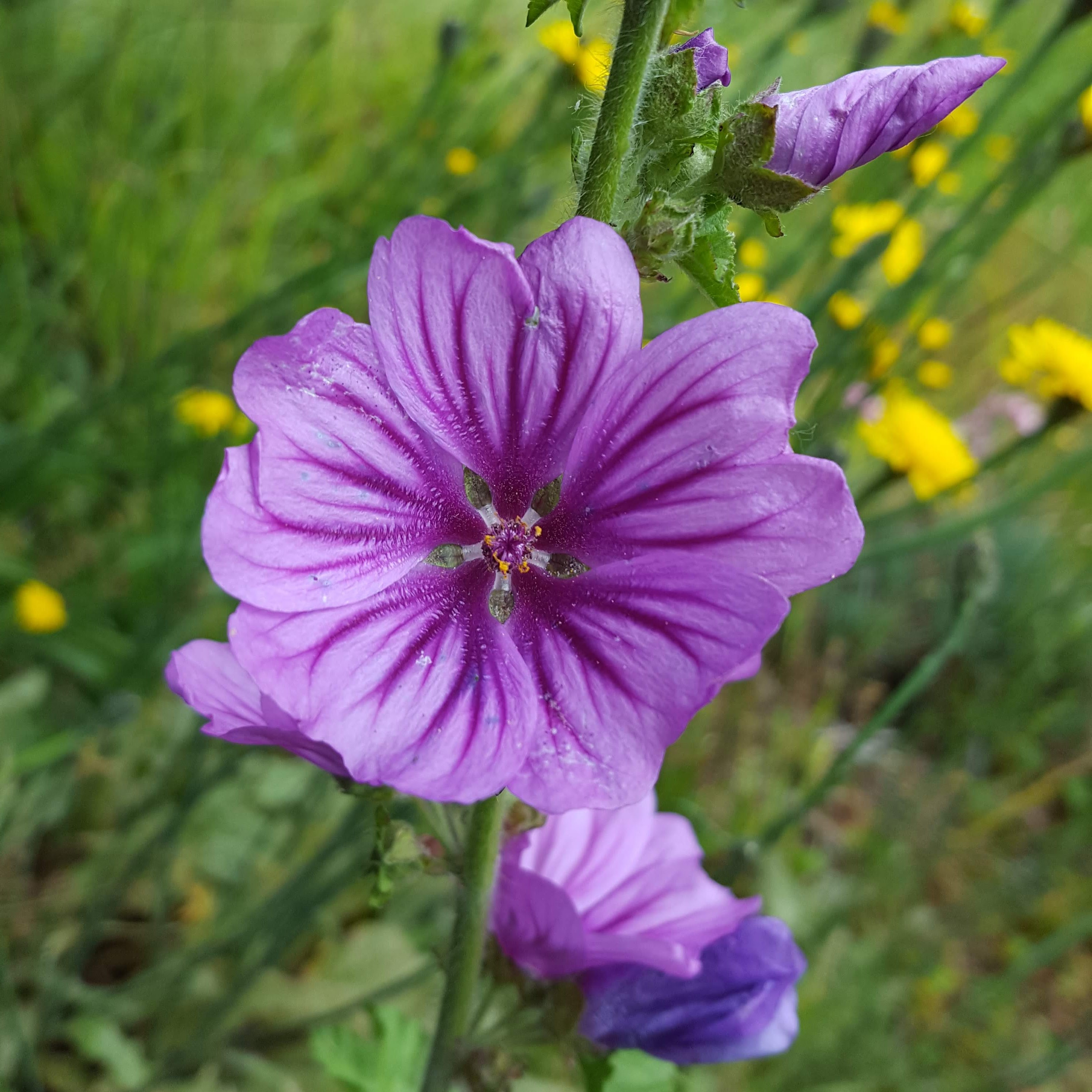Image of Mallow Flower