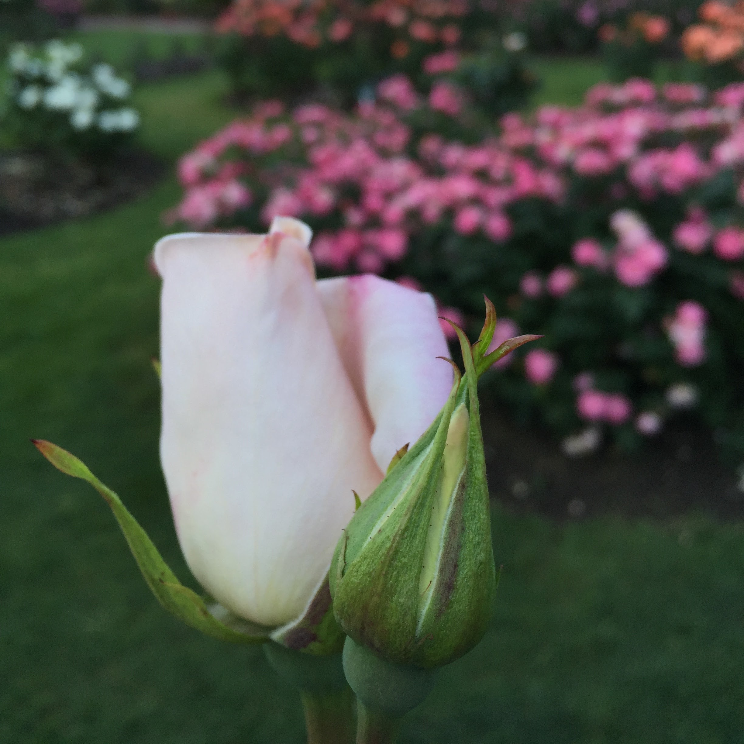 Image of a Rose bud
